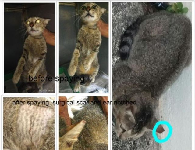 Neutering Aid For 2 Cats In Melaka (Adrienne Liew Siew Wern's)