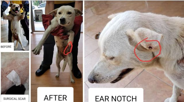 Neutering Aid For 2 Dogs In Batang Kali (Yeap Yin May's)
