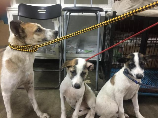 Neutering Aid For 3 Dogs In Puchong (Wong Yeng Yin's)