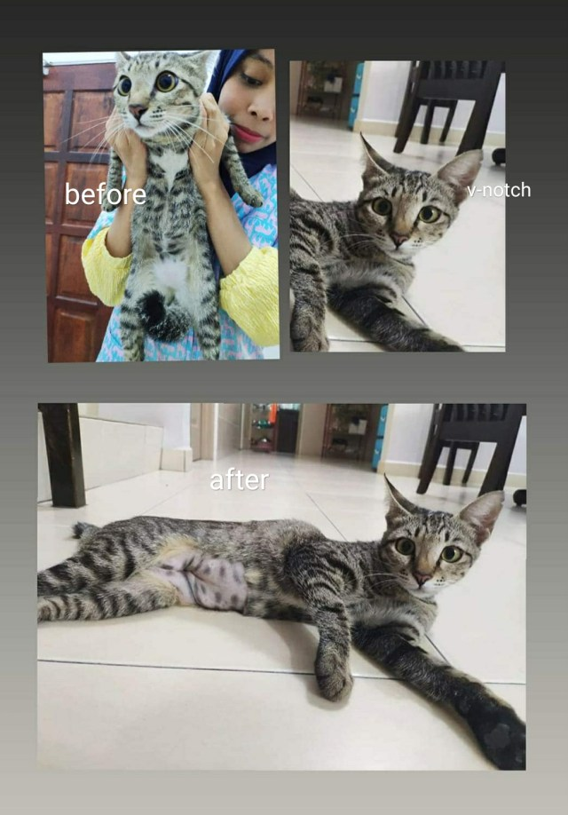 Neutering Aid For 2 Cats In Lumut (Cheong Huey Fang's)