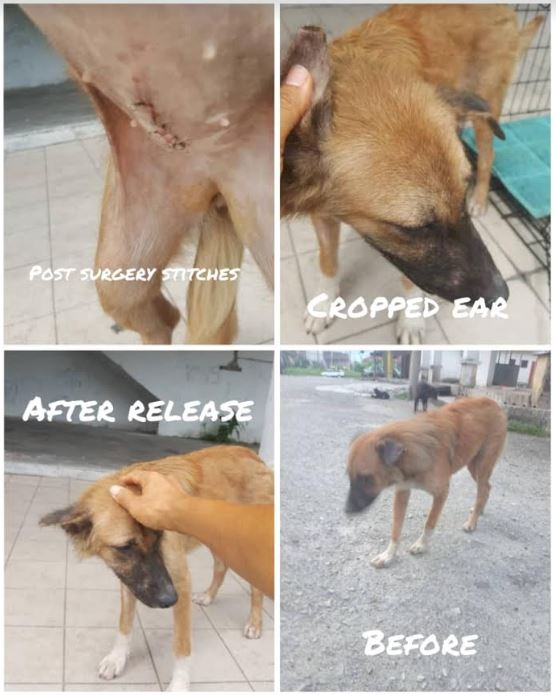 Neutering Aid For 1 Dog In Ipoh (Dr Sathiah Devi A/p Subramaniam's) & Updates