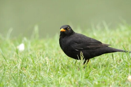 The Characteristics And Behavior Of The Blackbird - My Animals