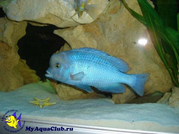 Дельфин голубой Cyrtocara moorei cyrtocara moorii