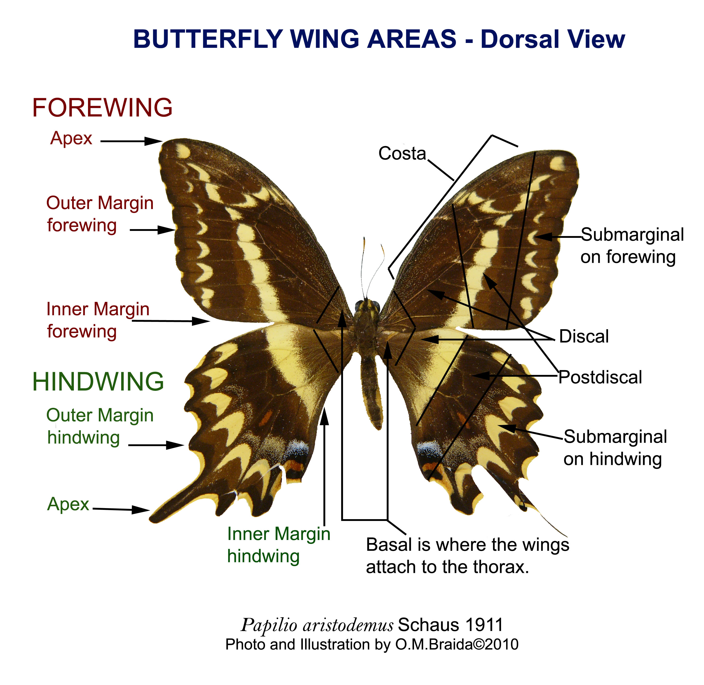 Prop Cool Diagram Of A Butterfly For Joseph S Lab