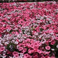 Full of Beautiful Flowers at Ashikaga Flower Park