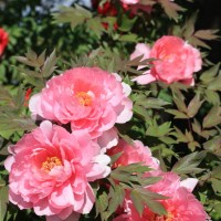 Brilliant Peony Garden at Itakura