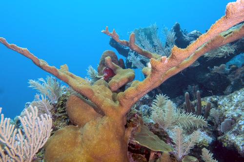 Elkhorn Coral, San Salvador, Bahamas