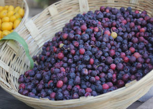 Health Benefits of Falsa Fruit