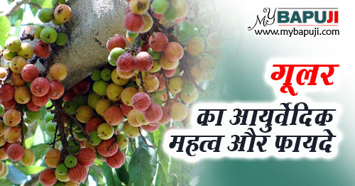 gular ke fayde gun upyog aur nuksan in hindi