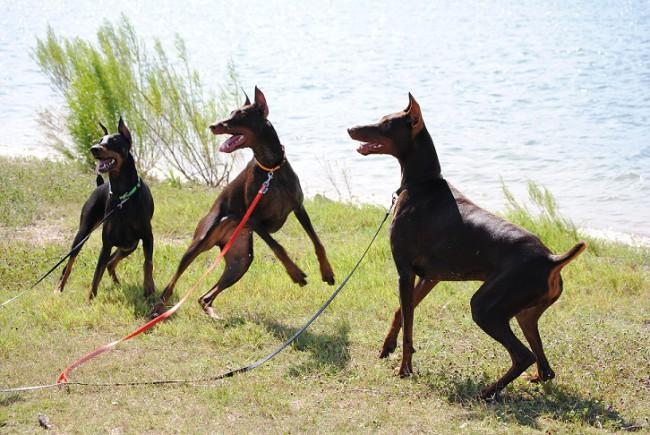 Сколько в среднем живут доберманы — Сайт про собак