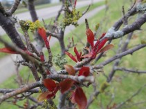Red buds bursting