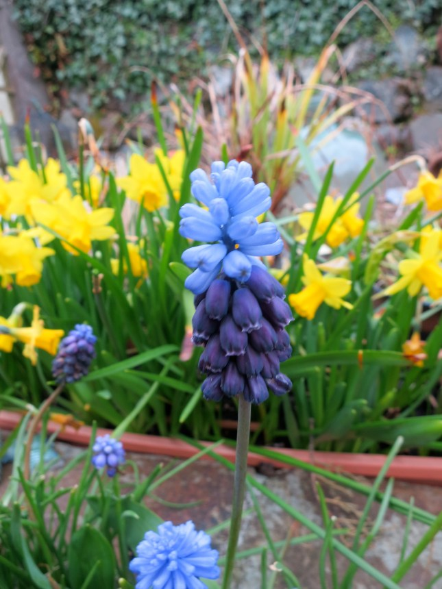 Bi-colour Muscari
