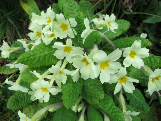 Pale yellow primroses