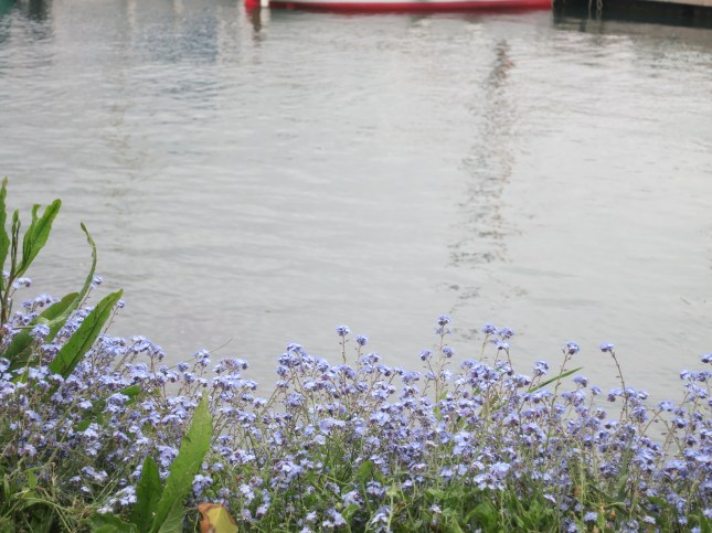 Forget-me-nots by the water