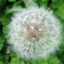 Delicate dandelion seedhead
