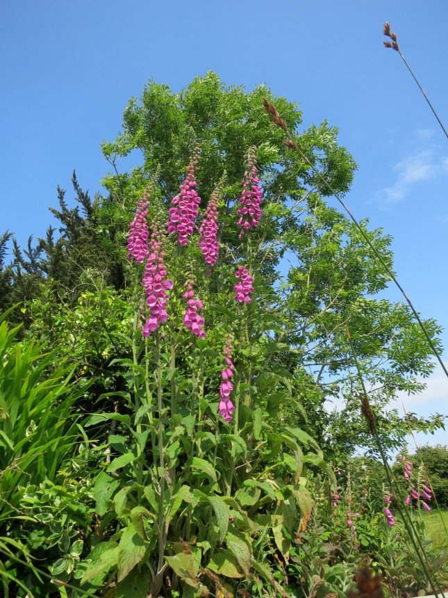 Foxgloves on the top of our wall