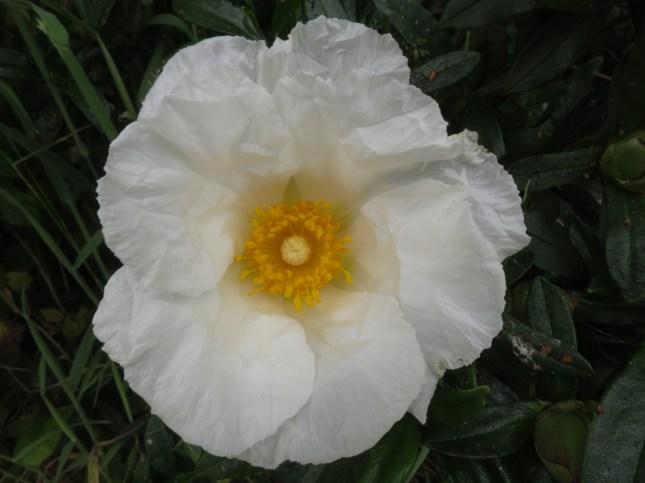 White Cistus