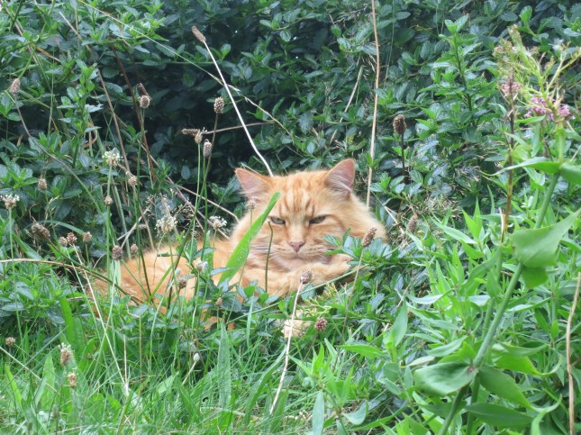 Ginger cat in the hedge