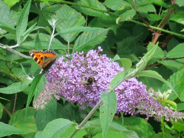 Buddleja, bee and butterfly