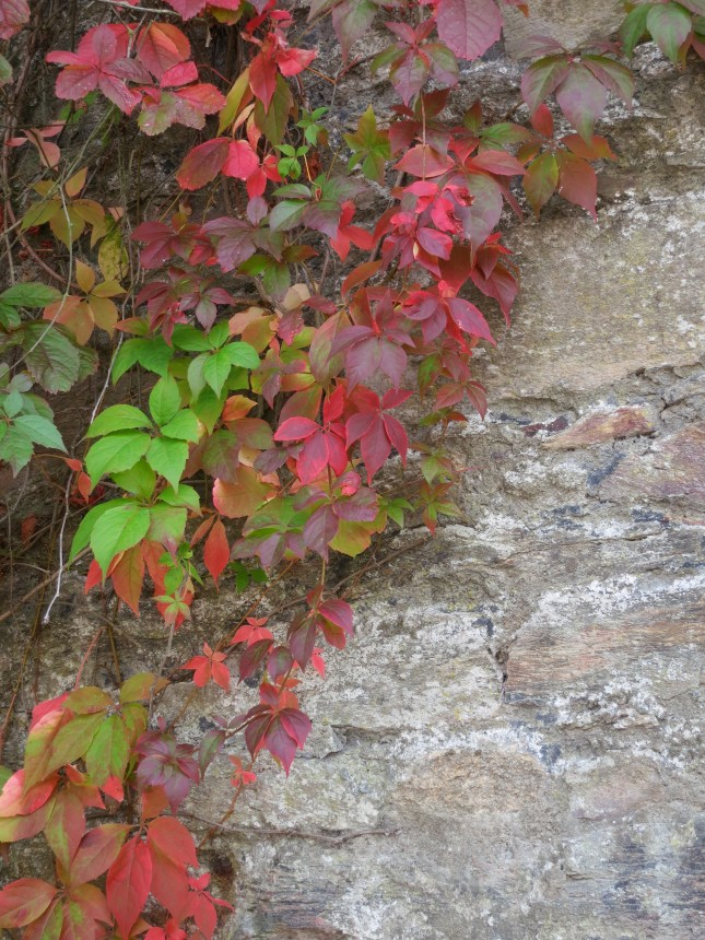Glorious Virginia Creeper