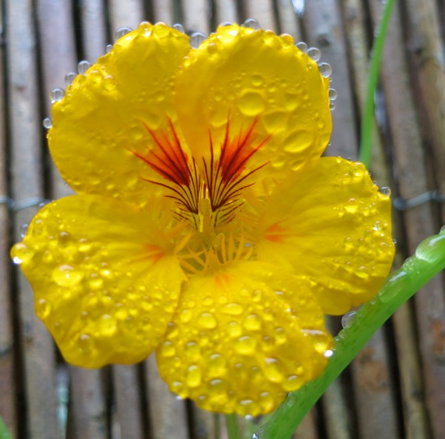 Nasturtium with raindrops