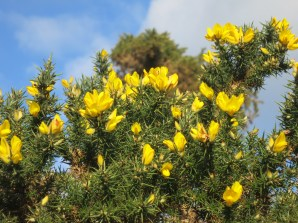 Golden gorse