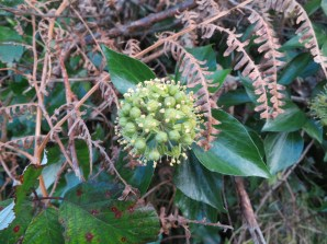 Ivy flower