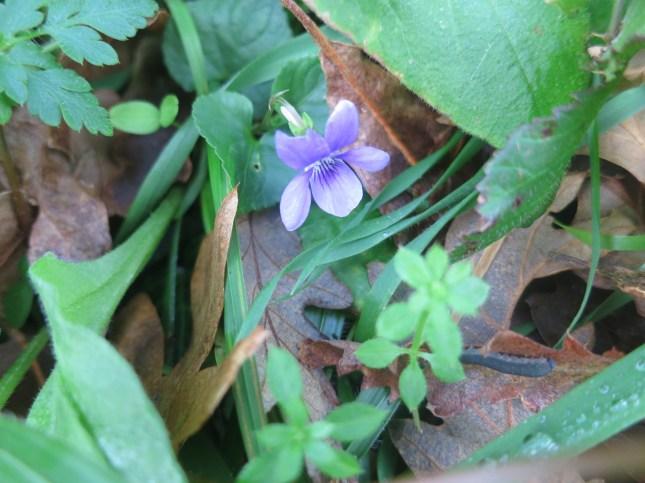 Cornish Violet