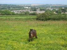 Up to his 'knees' in buttercups