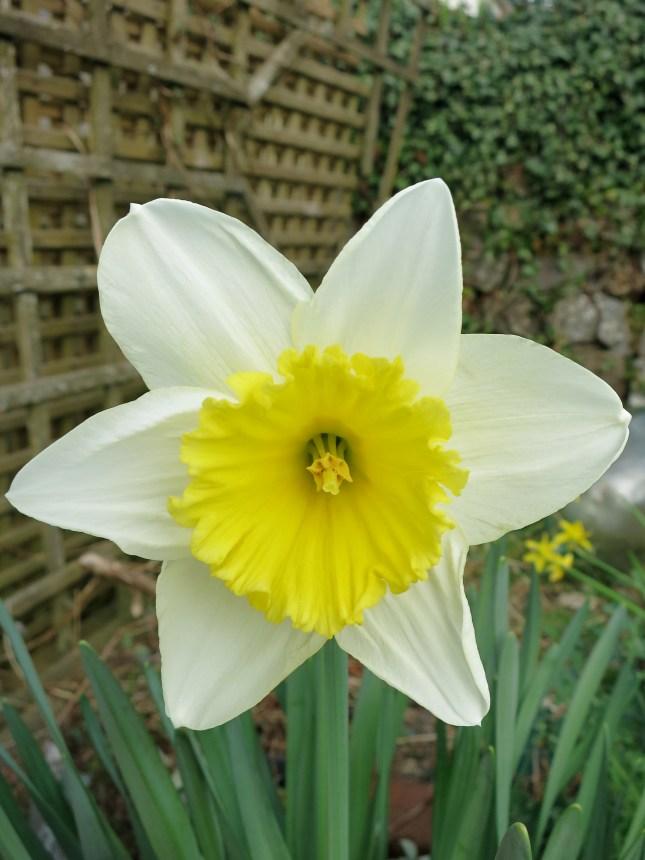 Bi-colour daffodil
