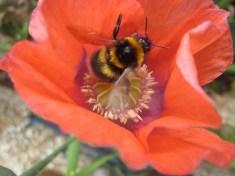 Bee inside a poppy