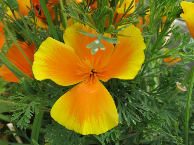One of the poppies