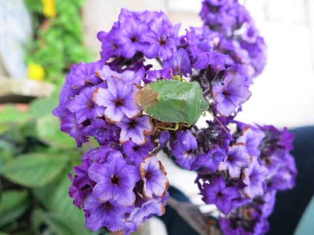 Pentatomidae ; Palomena prasina (Green shield bug).