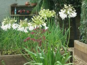 White Agapanthus in the vegetable garden