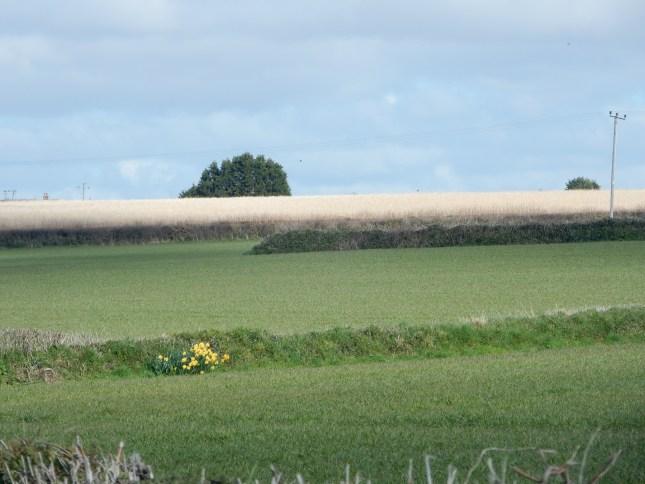 Daffs in a hedge bottom