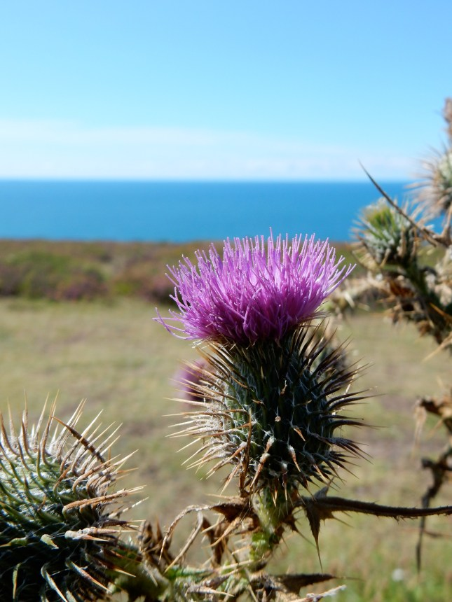 Thistle and Blue Sea