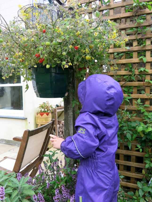 Picking tomatoes in the rain
