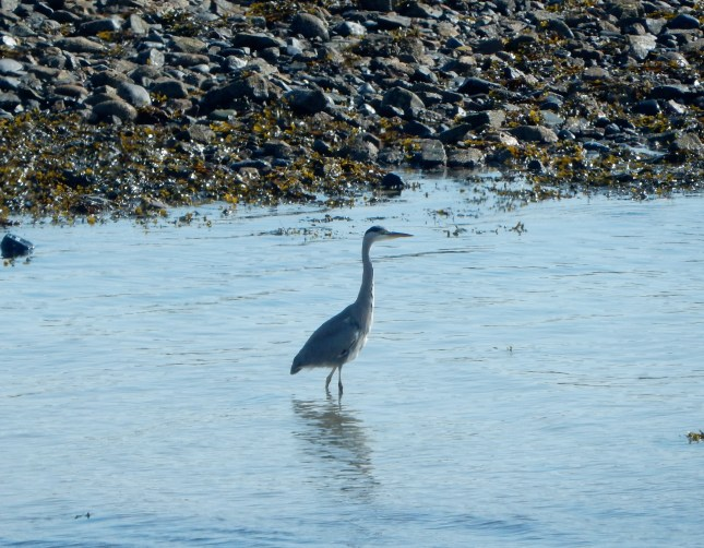 Heron in the sea