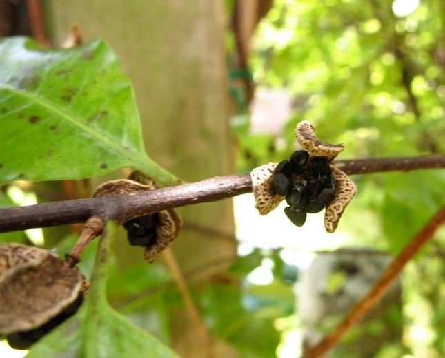 Pittosporum seed pod