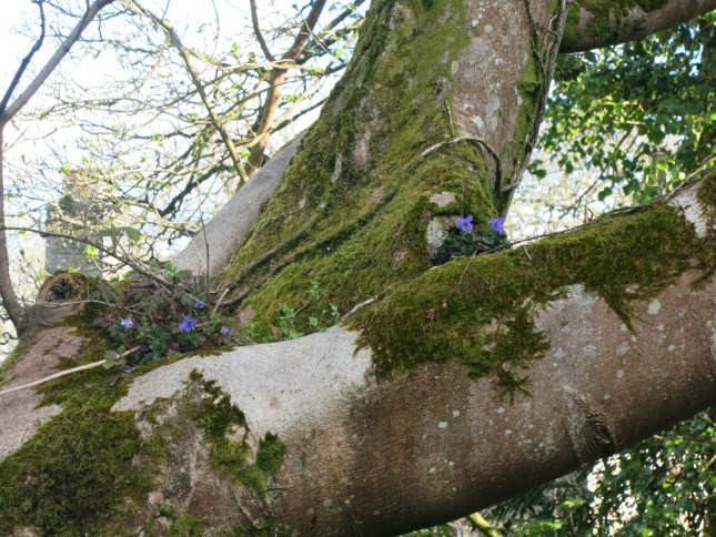 Bluebells in a tree