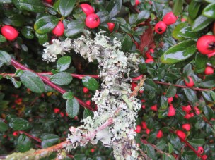 Twig with lichen has fallen onto the beautifully berried Cotoneaster