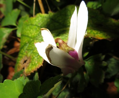 Cyclamen at dusk with flash
