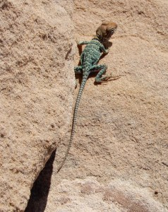 I think this is an Eastern Collared Lizard but ours is not quite like the one I found in the id pages