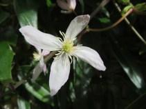 Clematis Armandii 4 petals