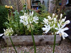 White Agapanthus, in pots in the veggie garden