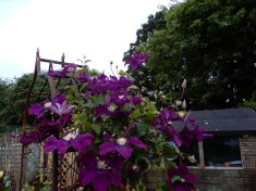 Clematis in the veggie garden - only one side of thearchy has been successful