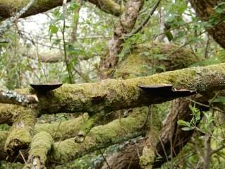 Bracket fungus, I think