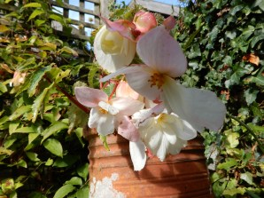 White Begonia in a chimney pot