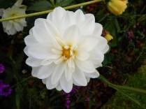 Prolific White dahlia