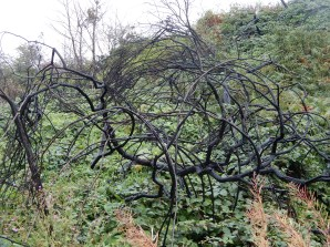 Burnt tree, reminded me of an Andy Goldsworthy sculpture
